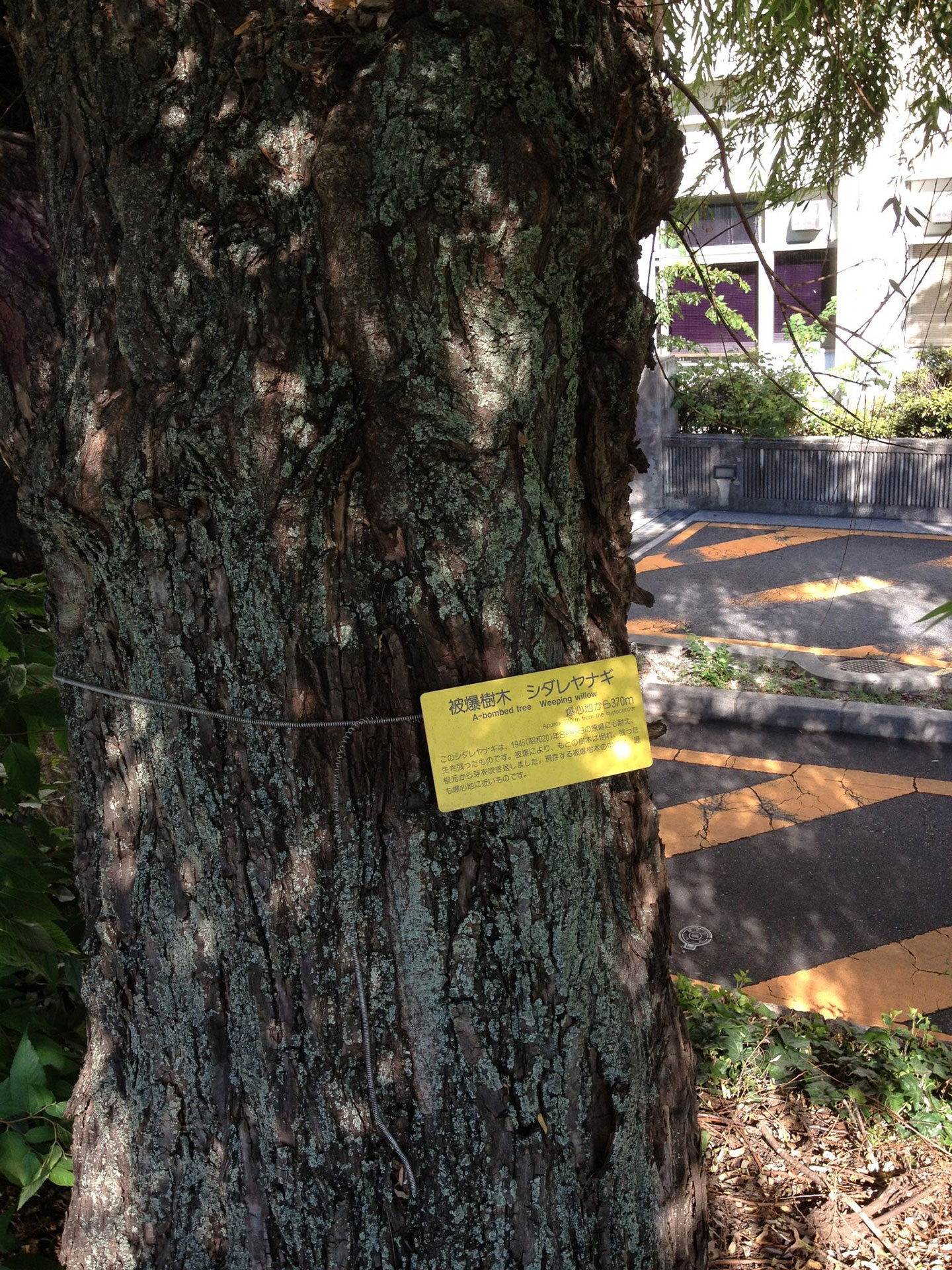 2012年に初めて出会った被爆樹木シダレヤナギ